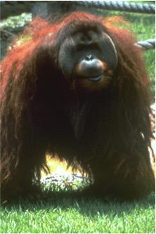 049-orangutan.jpg