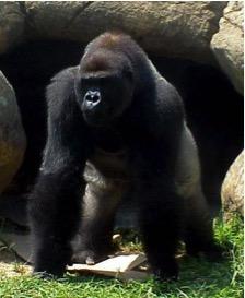 050-gorila.jpg