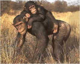 051-chimp.jpg