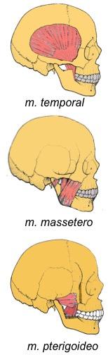 059-musculos.jpg
